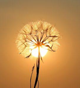 dandelion-1557110_1280