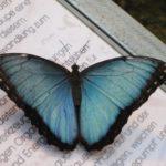 blue-morphofalter-947714_1920